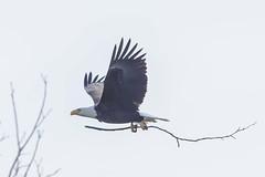 BALD EAGLE - ADULT (nsxbirder) Tags: baldeagle indiana haliaeetusleucocephalus brookville whitewaterriver franklincounty leveerdbrookville
