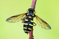 Xanthogramma sp. (Prajzner) Tags: macro nature insect poland naturallight stack insecta sigma105mmmacro focusstacking xanthogramma photonature subcarpathia macrodreams nikond7100 prajzner