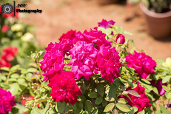 _DSC1555 (rvk82) Tags: 2016 april2016 chennai flowers greenery india nature nikkor70200mm nikon nikond810 photography rvk rvkphotography southindia tamilnadu uthandi in rvkphotographycom