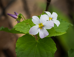 Field Pansy, Viola arvensis, (vern Ri) Tags: fleurs spring flora nikon d750 blooms nikkor70200f4
