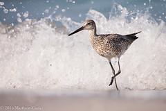 Willet Wave Running (Matt Cuda - www.mattcuda.com) Tags: bird beauty surf waves florida birding running fortdesoto shorebirds shorebird willet