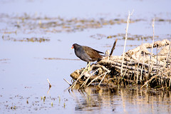 Dusky Moorhen (_DSF6956) (Param-Roving-Photog) Tags: bird water swamp punjab wetland duskymoorhen ropar