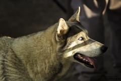 Mirada hacia la luz (luisalbertohm) Tags: light dog color peru look animal animals fauna photo flickr foto image sony fotografia alpha arequipa peruvian photogrpahy