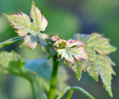 Baby leaves (papajoesm) Tags: california spring wine vine grapes napa chimneyrock