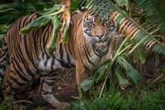 Momma Tiger (helenehoffman) Tags: animal sumatra mammal cub tiger bigcat sumatrantiger carnivore felidae pantheratigrissumatrae specanimal conservationstatusendangered sandiegozoosafaripark