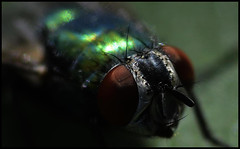 Greenbottle Macro VI (Josh Rokman) Tags: insect fly greenbottle flyinginsect greenbottlefly