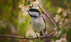 Chickadees...They Are Not Just For Winter Anymore (kathybaca) Tags: world flowers cute bird nature birds animal forest fly flying spring singing wildlife feathers adorable aves chickadee tiny breeding chickadees earthtrees