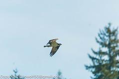 _DSC4792.jpg (orig_lowolf) Tags: usa dog nature oregon nikon flickr osprey lakeoswego turkeyvulture d300s sigma150500mmf563afapodgoshsmtelephotozoom