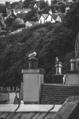 UK - Scotland - Isle of Mull - Tobermory (Marcial Bernabeu) Tags: uk seagulls island scotland unitedkingdom seagull united kingdom mull isle isla gaviotas gaviota tobermory bernabeu reinounido marcial bernabu granbretaa esocia