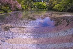 SAKURA HAS COME TO SAY GOODBYE (ajpscs) Tags: pink flower japan japanese tokyo spring blossom  cherryblossom  sakura nippon    hanami shinjukugyoen haru    someiyoshino seasonchange springblossom  ajpscs springsarrival scentofspring pinkisthecolorofspring nikond750 blossombyblossom timecometogo