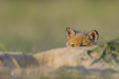 Whack-a-fox (santosh_shanmuga) Tags: red wild baby cute nature animal mammal outdoors md eyes furry fuzzy bokeh outdoor wildlife adorable maryland fox kit mole 500mm whack whackamole timid redfox nion d3s