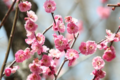 It is like the artificial flower. (shig.) Tags: pink flowers trees flower tree spring blossom blossoms ume