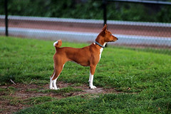 Heidi at Grant Park.  Kaligar 135mm f2,8 (HandsOff) Tags: heidi basenji kaligar 135mm f28 japan santacruz california grantpark