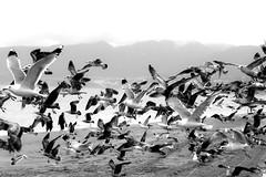 Birds (asliakal) Tags: ocean california santa bird beach birds canon losangeles rainyday zoom g seagull gulls monica asli 550d akal t2i