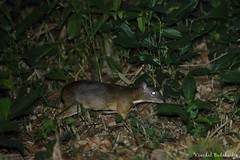 Lesser Mouse-deer (Vinchel) Tags: park nature animal cat canon is outdoor wildlife vietnam national ii l usm f28 ef tien 400mm 1dx