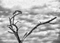 Couple of Crows (FotoGrazio) Tags: two sky blackandwhite tree bird art texture nature birds animal clouds composition contrast photography photoshoot wildlife branches grain feathers telephoto deadtree crow grainy moment photographicart minimalism capture crows raven ravens digitalphotography bondedpair sandiegophotographer artofphotography flickrelite californiaphotographer internationalphotographers worldphotographer photographersinsandiego fotograzio photographersincalifornia waynegrazio couplepartners naturetoart waynesgrazio