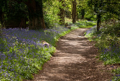 Bluebell Walk (hutchyp) Tags: flowers wild nature bluebells flora reserve hampshire gosport wildgrounds