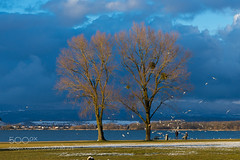 Seagulls and Trees at the Murten Lake Shore (l3v1k) Tags: trees light seagulls lake warm shore murten 500px ifttt