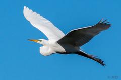 Egret, Soaring Effortlessly In The Air (MelRoseJ) Tags: nature birds sony alpha egret autofocus sonyalpha sal70400g a77ii sonyilca77m2