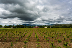 Drama of the Clouds (Dooquie) Tags: california clouds barn outside us vineyard unitedstates cloudy outdoor farm stormy valley grapes napa agriculture cloudporn canoneos5dmarkiii