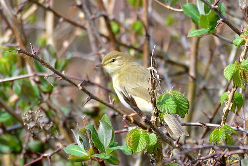 Willow Warbler - Home Farm Marsh, Yelland 15-04-2016 14-37-17