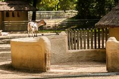 Visite de voisinage (patoche21) Tags: france animal zoo goat animaux chèvre zoodelapalmyre scène lapalmyre charentemaritime poitoucharentes chèvrenaine