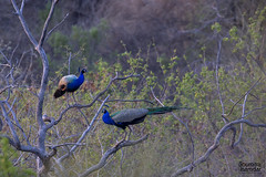 Be radiant . . . (soumitra911) Tags: blue two india tree bird branch sitting pair peacock maharashtra pune