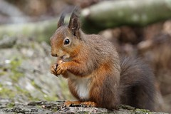 Red Squirrel (AMKs_Photos) Tags: red forest canon photography eos scotland squirrel fife wildlife scottish 7d lochs morton vulgaris amk sciurus amksphotos