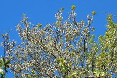 virgz rezgnyr / flowering aspen tree (debreczeniemoke) Tags: tree forest spring catkin aspen fa tavasz espe aspe quakingaspen tremble erd populustremula salicaceae commonaspen zitterpappel eurasianaspen pioppotremulo peupliertremble rezgnyr fzfaflk europeanaspen olympusem5 trembledeurope kznsgesnyr eurzsiainyr ploptremurtor virgbarka