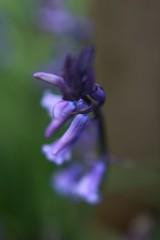 Bluebell, King's Wood (NovemberAlex) Tags: flowers nature kent bokeh flowercloseup