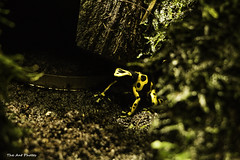 Yellow Frog (Dendrobates leucomelas) (The Ant Photos) Tags: france nature yellow bokeh center frog protection reportage biodiversity assigment
