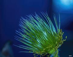 Kchenschelle 2 (Katz-Ffm) Tags: nature tamron 90mm vergnglichkeit kuhschelle kchenschelle heilpflanze nikon5300