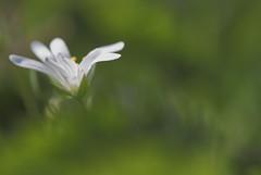 Aurora borealis (CcileAF) Tags: flowers wild white colour macro green nature canon countryside spring bokeh dreamy tamron