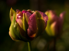 Pink tulips after rain (Unni Henning (partly offline)) Tags: pink england macro rain closeup garden droplets spring tulips bulbs warwickshire