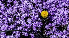Purple w/ Yellow 2 (marcn) Tags: us unitedstates newhampshire nh photowalk daytrip nashua nashuanh nashuastreetpianos
