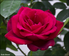 Red Rose IZE_15447 (Zachi Evenor) Tags: flowers roses flower rose garden israel gardening april mygarden    2016 rosea            zachievenor