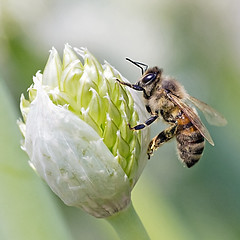 Honeybee & Leek Flora (Johnnie Shene Photography(Thanks, 2Million+ Views)) Tags: light people plant blur flower colour macro green nature floral closeup canon bug insect square lens wonder photography eos rebel living daylight spring interesting flora focus kiss day view bright image outdoor no background side 11 full bee modified resting magnified awe length tamron 90mm viewpoint effect leek honeybee f28 adjustment freshness foreground t3i x5 organism hymenoptera perching fragility 곤충 접사 hymenopteran 600d 벌 꿀벌 파 매크로 파꽃