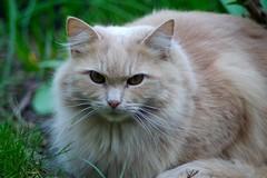 Tobbi in Grasses I (frankbehrens) Tags: cats tom cat chats chat pentax gatos gato katze katzen kater ks2 pentaxks2