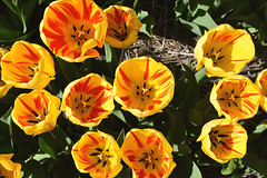 Yellow and red tulips (cklx) Tags: red holland yellow spring tulips may tulip april brightcolors tulpen noordwijkerhout tulp lisse 2016 bollenstreek hillegom wassergeest