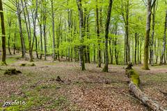 Gatzaga 2016 0173 (Joxefe Diaz de Tuesta) Tags: forest woods europa europe flickr natura bosque euskalherria euskadi forêt basquecountry paisvasco bois paysbasque guipuzcoa gipuzkoa basoa euskalerria gatzaga paisbasc leintzgatzaga debagoiena