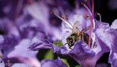 Collecting... (Zaphod Beeblebrox 1970) Tags: macro garden spring essen blossom bee botanic makro blte garten ruhr ruhrgebiet biene frhling botanischer honigbiene