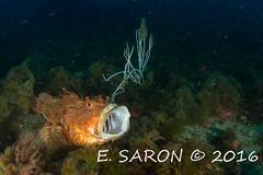 Chapon bouche ouverte (ManuS UWPhotos) Tags: ga poissons mediterranee lestartit chapon allnaturesparadise