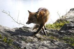 Legs crossed (Pivi ) Tags: sea oslo norway rock spring legs fox april crossed
