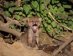 Fxchen (Deranged Cousin) Tags: baby fauna tiere wildlife yawn fox fuchs babyanimal babyfox