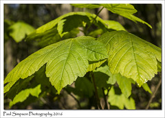 Green Leaves of Spring (Paul Simpson Photography) Tags: trees green nature leaves woodland leaf spring woods naturalworld springtime newlife photosof imageof photoof imagesof sonya77 paulsimpsonphotography