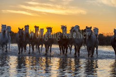 40080890 (wolfgangkaehler) Tags: sunset horse france water french europe european wetlands marsh herd marshland wetland eveninglight camargue southernfrance marshlands 2016 camarguehorses
