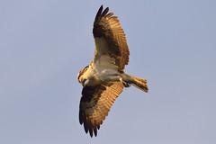 Osprey sunset hunt (zxorg) Tags: bird raptor osprey ionabeach birdinflight