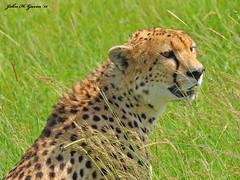 DSC_3049-b Cheetah on alert, Southern Mara Triangle, Kenya. (GavinKenya) Tags: africa wild nature animal june john mammal photography gavin photographer kenya african wildlife july grand safari dk cheetah naturephotography kenyasafari africansafari 2015 safaris africanwildlife africasafari johngavin wildlifephotography kenyaafrica kenyawildlife dkgrandsafaris africa2015 safari2015 johnhgavin