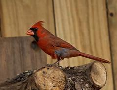 male cardinal (Anne Davis 773) Tags: male bird cardinal