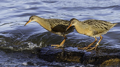 Ridgway's Rails (Bob Gunderson) Tags: california birds northerncalifornia rails eastbay alamedacounty ralluslongirostris arrowheadmarsh canoneos7dmarkii ridgwaysrail